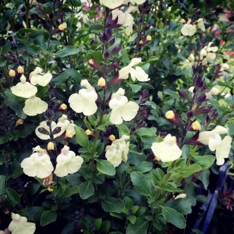 Salvia 'Ballerina' - Sauge arbustive jaune