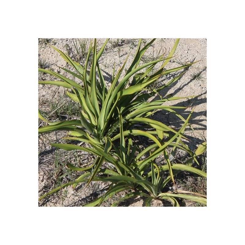 Yucca rupicola - yucca des rochers
