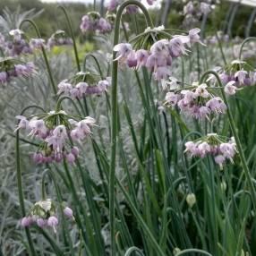 Allium cernuum - Ail penché