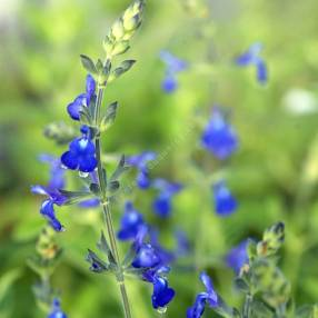 Sauge arbustive bleue 'Bleu Armor'