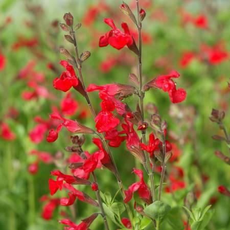 Salvia 'Flammenn' ® - Sauge arbustive rouge