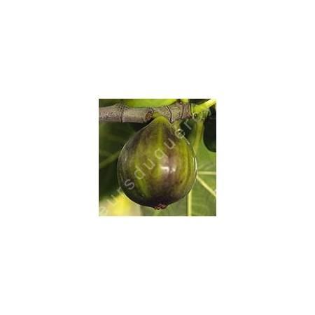 Figuier 'Dauphine' - Ficus carica