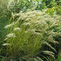 Achnatherum calamagrostis syn. Stipa calamagrostis