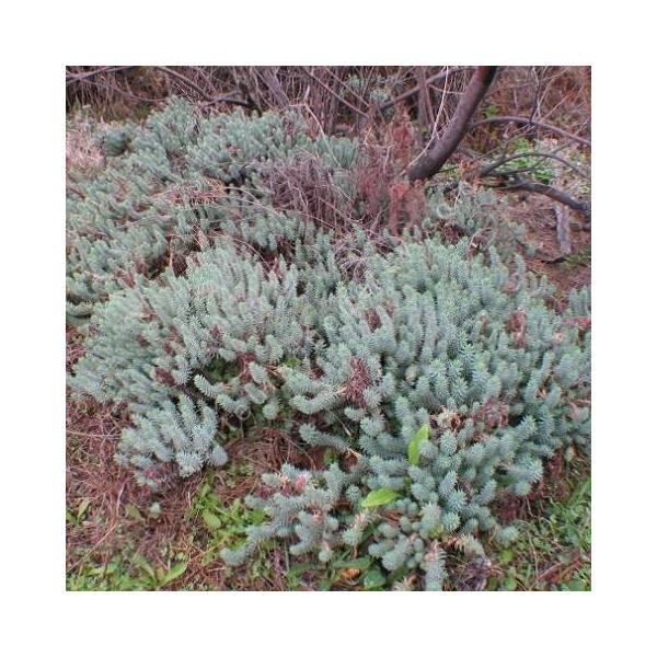 Euphorbia pithyusa subsp. cupanii - Euphorbe