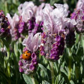 Lavandula stoechas 'Boysenberry Ruffles' - Lavande papillon