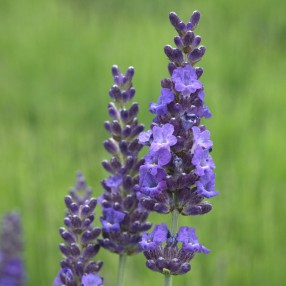Lavandula x intermedia 'Heavenly Night' ®, Lavandin bleu compact