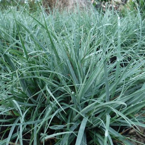 Carex flacca 'Blue Zinger' - Laîche glauque