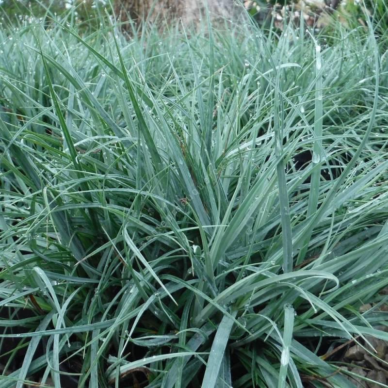 Carex flacca 'Blue Zinger', Laîche glauque