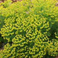 Euphorbia cyparissias - Euphorbe Petit Cyprès