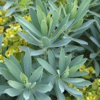 Euphorbia nicaeensis - Euphorbe de Nice