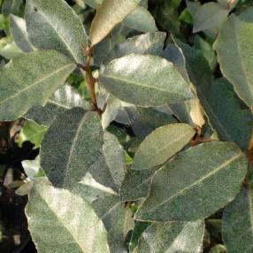 Elaeagnus x ebbengei - Chalef