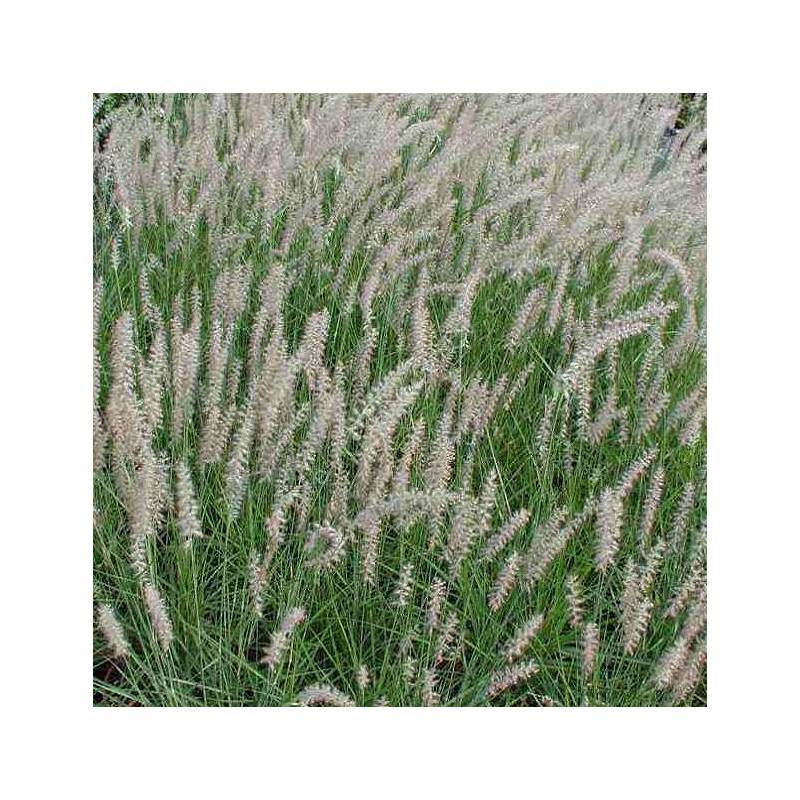 Pennisetum orientale - Herbe aux écouvillons d'Orient