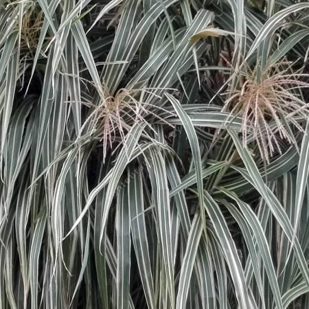 Miscanthus sinensis var. condensatus 'Cabaret'
