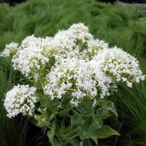 Centranthus ruber 'Albus' - Valeriane des murs blanche - Lilas d 'Espagne