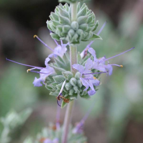 Salvia 'Bee's Bliss' - Sauge Calfornienne