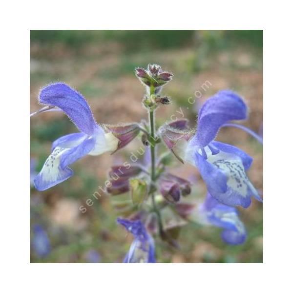 fleur de Salvia forsskaolei - Sauge de Forsskaol