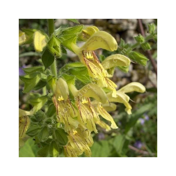 fleur de Salvia glutinosa - Sauge glutineuse