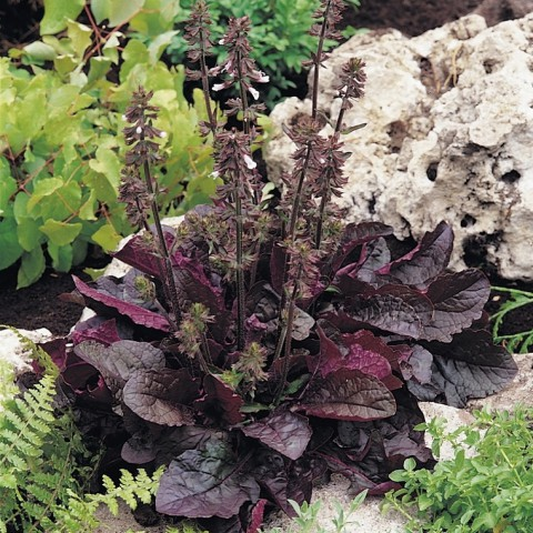 Salvia lyrata 'Purple Knock Out' - Sauge