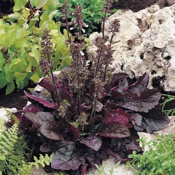 touffe de Salvia lyrata 'Purple Knock Out' - Sauge
