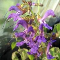 Salvia milthiorrhiza - Sauge Chinoise