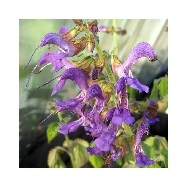 fleur de Salvia milthiorrhiza - Sauge Chinoise