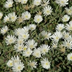Delosperma karooicum 'Graaf Reinet' - Pourpier vivace blanc
