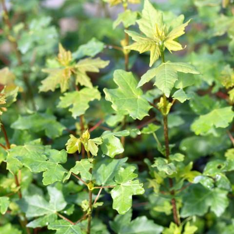 Acer monspessulanum - Érable de Montpellier