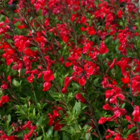 Salvia 'Flammenn' - Sauge arbustive rouge