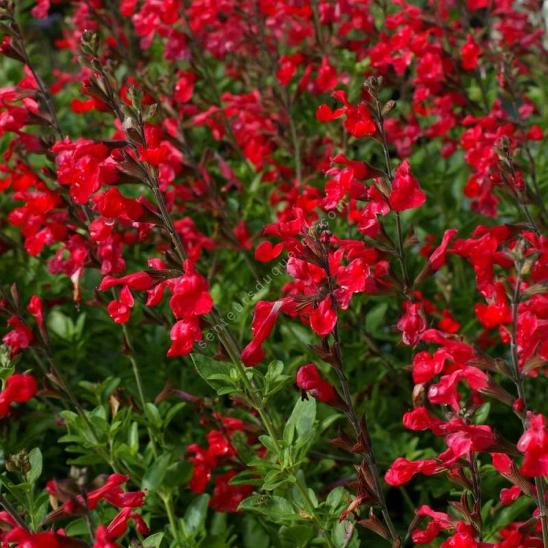 touffe de Salvia 'Flammenn' - Sauge arbustive rouge