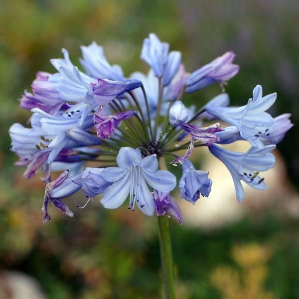 Agapanthus 'Columba' - Agapanthe bleu foncé