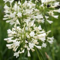 Agapanthus 'Glacier Stream' - Agapanthe blanche