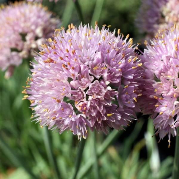 Allium senescens var. glaucum, Ail glauque