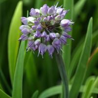 Allium senescens - Ciboulette àlarge feuille