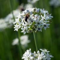 Allium tuberosum - Ciboule chinoise