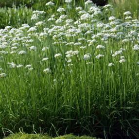 Allium tuberosum, Ciboule chinoise