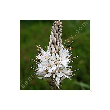 Asphodelus albus , Asphodèle blanc