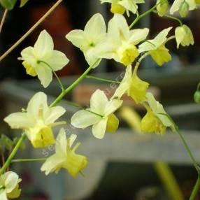 Epimedium x versicolor 'Sulphureum', Fleur des Elfes