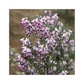Erica multiflora - Bruyère à nombreuses fleurs