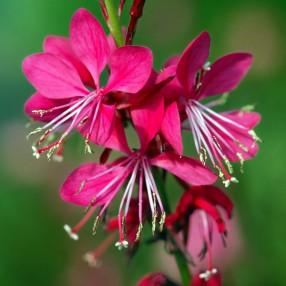 Gaura lindheimeri 'Red Color', Gaura rouge