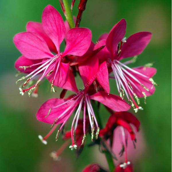 Gaura lindheimeri 'Red Color', Gaura rouge