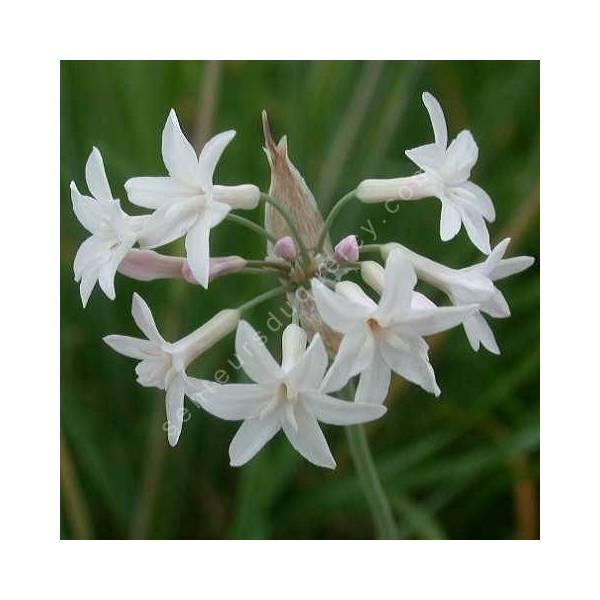 Tulbaghia violacea 'Alba' - Ail d'Afrique du Sud blanc