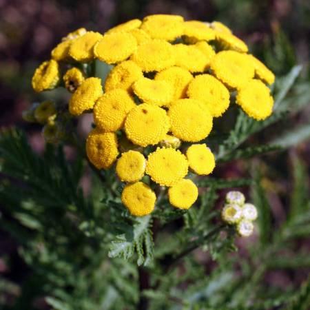 Tanacetum vulgare, Tanaisie commune