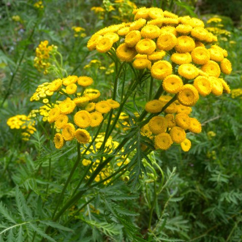 https://www.senteursduquercy.com/3686-thickbox/tanaisie-commune-barbotine-tansy.jpg