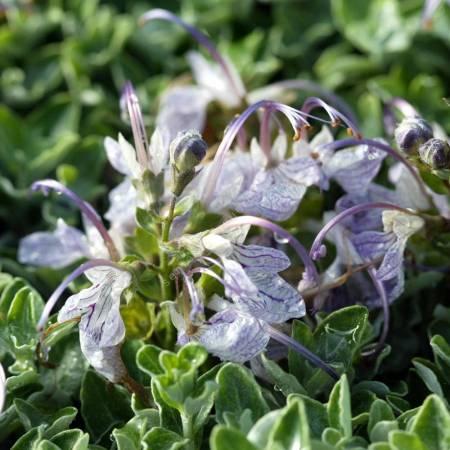 Teucrium aroanium
