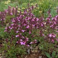 Teucrium chamaedrys - Germandrée petit-chêne