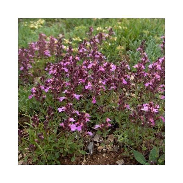 Teucrium chamaedrys, Germandrée petit-chêne