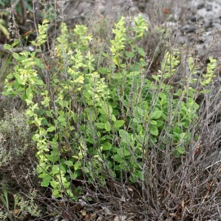 Teucrium flavum, Germandrée jaunâtre
