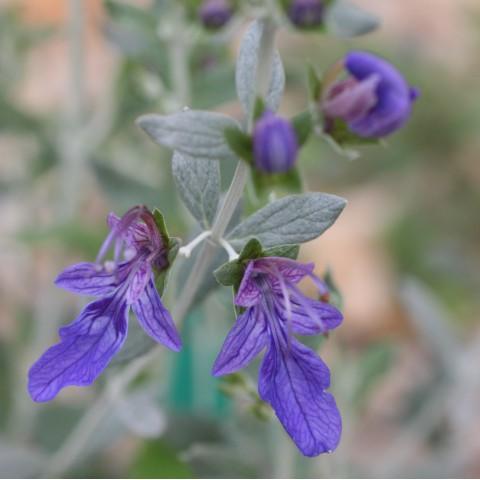 Teucrium fruticans 'Azureum' - Germandrée arbustive foncée