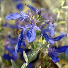 Teucrium fruticans, Germandrée arbustive