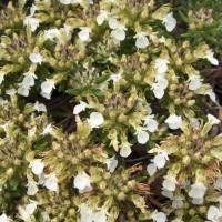 Teucrium montanum - Germandrée des montagnes